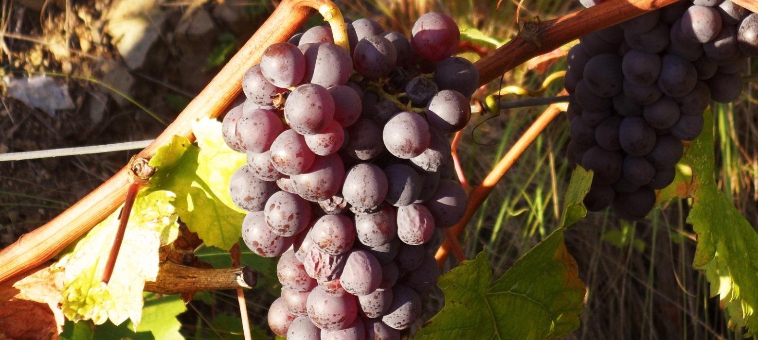 monastero-frati-bianchi-grappolo-uva-rossa-mobile
